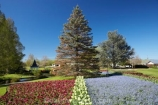 Blenheim;bloom;blooming;blooms;Botanic-Garden;Botanic-Gardens;Botanical-Garden;Botanical-Gardens;conifer;conifers;flower;flowers;forget-me-nots;forget_me_nots;fresh;grow;growth;Marlborough;N.Z.;New-Zealand;NZ;Pollard-Park;polyanthus;renew;S.I.;season;seasonal;seasons;SI;South-Is.;South-Island;spring;springtime;tulip;tulips
