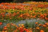 Blenheim;bloom;blooming;blooms;Botanic-Garden;Botanic-Gardens;Botanical-Garden;Botanical-Gardens;floral;flower;flower-beds;flower-garden;flower-gardens;flowers;fresh;grow;growth;Marlborough;N.Z.;New-Zealand;NZ;orange;park;parks;Pollard-Park;renew;S.I.;season;seasonal;seasons;SI;South-Is;South-Is.;South-Island;spring;spring-time;spring_time;springtime;Sth-Is;violet