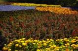 Blenheim;bloom;blooming;blooms;blossom;blossoming;blossoms;Botanic-Garden;Botanic-Gardens;Botanical-Garden;Botanical-Gardens;floral;flower;flower-beds;flower-garden;flower-gardens;flowers;fresh;grow;growth;lilac;Marlborough;mauve;N.Z.;New-Zealand;NZ;orange;park;parks;Pollard-Park;purple;red;renew;S.I.;season;seasonal;seasons;SI;South-Is;South-Is.;South-Island;spring;spring-time;spring_time;springtime;Sth-Is;violet;yellow-flowers