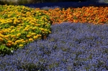 Blenheim;bloom;blooming;blooms;blossom;blossoming;blossoms;Botanic-Garden;Botanic-Gardens;Botanical-Garden;Botanical-Gardens;floral;flower;flower-beds;flower-garden;flower-gardens;flowers;fresh;grow;growth;lilac;Marlborough;mauve;N.Z.;New-Zealand;NZ;orange;park;parks;Pollard-Park;purple;renew;S.I.;season;seasonal;seasons;SI;South-Is;South-Is.;South-Island;spring;spring-time;spring_time;springtime;Sth-Is;violet;yellow-flowers