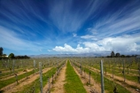 agricultural;agriculture;Blenheim;country;countryside;crop;crops;cultivation;farm;farming;farmland;farms;field;fields;grape;grapes;grapevine;horticulture;Marlborough;Marlborough-Vineyard;Marlborough-Vineyards;Marlborough-Wine;Marlborough-Wines;N.Z.;Nautilus-Estate;Nautilus-Estates;Nautilus-Vineyard;Nautilus-Vineyards;Nautilus-Winery;Nautilus-Winerys;New-Zealand;NZ;Opawa-Vineyard;Opawa-Vineyards;Rapaura-Rd;Rapaura-Road;Renwick;row;rows;rural;S.I.;SI;South-Is;South-Island;Sth-Is;vine;vines;vineyard;vineyards;vintage;wineries;winery