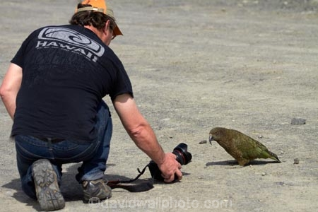 alpine;alpine-parrot;alpine-parrots;Animal;Animals;Aotearoa;bird;birds;Canterbury;curious;fauna;indigenous;kea;keas;male;man;men;Mount-Hutt;Mt-Hutt;Mt.-Hutt;N.Z.;native;native-wildlife;nestor;nestor-notabilis;New-Zealand;New-Zealand-Alpine-Parrot;notabilis;NZ;ornithology;parrot;person;photographer;photographers;photographing;photography;S.I.;SI;South-Is;South-Is.;South-Island;Sth-Is;Wild;Wildlife;model-released;model-release