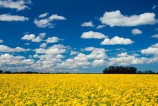 agriculture;balloons;color;colors;colour;colours;countryside;crop;cropping;crops;cultivation;farm;farming;farmland;farms;fields;flower;flowers;garden;gardens;horticulture;mountain;mountains;paddock;paddocks;rape-seed;rural;yellow