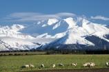 agricultural;agriculture;alp;alpine;alps;Canterbury-foothills;cold;country;countryside;ewes;farm;Farm-animals;farming;farmland;farms;field;fields;flock;flocks;foothills;freeze;freezing;livestock;mammal;mammals;meadow;meadows;Mid-Canterbury;mount;Mount-Winterslow;mountain;mountain-peak;mountainous;mountains;mountainside;mt;Mt-Winterslow;mt.;Mt.-Winterslow;N.Z.;New-Zealand;NZ;paddock;paddocks;pasture;pastures;peak;peaks;range;ranges;rural;S.I.;season;seasonal;seasons;sheep;SI;snow;snow-capped;snow_capped;snowcapped;snowy;South-Island;southern-alps;stock;summit;summits;winter;Winterslow-Range;wintery