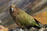 alpine;alpine-parrot;alpine-parrots;Animal;Animals;Aotearoa;bird;birds;Canterbury;fauna;indigenous;kea;keas;Mount-Hutt;Mt-Hutt;Mt.-Hutt;N.Z.;native;native-wildlife;nestor;nestor-notabilis;New-Zealand;New-Zealand-Alpine-Parrot;notabilis;NZ;ornithology;parrot;S.I.;SI;South-Is;South-Is.;South-Island;Sth-Is;Wild;Wildlife