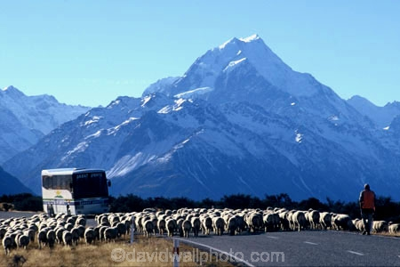 mountain;mountains;southern-alps;main-divide;snow;highest;peak;holiday;tourism;holidays;vacation;tourist;tourists;road;roads;transport;tour;travel;coach;coaches;bus;buses;tour-bus;sheep;herd;muster;shepherd;lambs;lamb;alpine;rural;icon