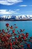 red;berry;berries;rosehip;mountain;mountains;lakes;alpine;snow;winter;cold;meridian