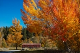 autuminal;autumn;autumn-colour;autumn-colours;autumnal;barn;barns;Canterbury;color;colors;colour;colours;country;countryside;deciduous;fall;farm;Farm-Building;Farm-Buildings;Farm-Shed;Farm-Sheds;farming;farms;gold;golden;leaf;leaves;Mackenzie-Country;Mackenzie-Region;N.Z.;New-Zealand;NZ;rural;S.I.;season;seasonal;seasons;Shearing-Shed;Shearing-Sheds;Sheep-Shed;Sheep-Sheds;SI;South-Canterbury;South-Is;South-Island;Sth-Is;tree;trees;Twizel;Wool-Shed;Wool-Sheds;woolshed;woolsheds;yellow
