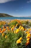 Californian-Poppies;Californian-Poppy;Canterbury;Eschscholzia-califorica;floral;flower;flowering;flowers;lake;Lake-Tekapo;lakes;Mackenzie-Country;N.Z.;New-Zealand;NZ;S.I.;SI;Sibbald-Range;South-Canterbury;South-Is.;South-Island;spring;springtime;summer;summertime;Tekapo;Two-Thumb-Range;wild-flower;wild-flowers;wild_flower;wild_flowers;wildflower;wildflowers;yellow