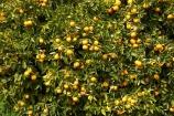 citrus;country;countryside;crop;crops;farm;farming;farmland;farms;field;fruit;fruit-tree;fruit-trees;horticulture;Motueka;N.Z.;Nelson-Region;New-Zealand;NZ;orange;Orange-Orchard;Orange-Orchards;orange-tree;orange-trees;oranges;orchard;orchards;row;rows;rural;S.I.;SI;South-Is.;South-Island;tree;trees