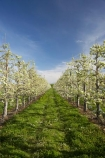 bloom;blooming;blooms;blossom;blossoming;blossoms;country;countryside;crop;crops;farm;farming;farmland;farms;field;fresh;fruit;fruit-tree;fruit-trees;grow;growth;horticulture;Motueka;N.Z.;Nelson-Region;New-Zealand;NZ;orchard;orchards;pear;pear-orchard;pear-orchards;pear-tree;pear-trees;pears;renew;row;rows;rural;S.I.;season;seasonal;seasons;SI;South-Is.;South-Island;spring;springtime;tree;trees