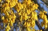 bloom;blooming;blooms;fresh;grow;growth;kowhai;kowhai-flower;kowhai-flowers;kowhai-tree;kowhai-trees;Motueka;N.Z.;Nelson-Region;New-Zealand;NZ;renew;S.I.;season;seasonal;seasons;SI;Sophora-sp;South-Is.;South-Island;spring;springtime;yellow