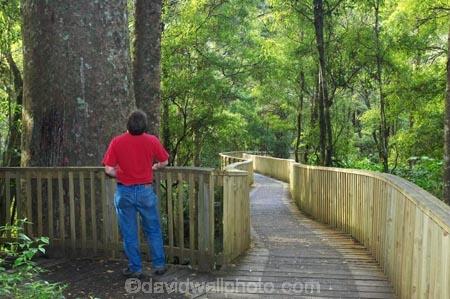 A.H.-Reed-Memorial-Kauri-Park;aerial-walkway;beautiful;beauty;boardwalk;boardwalks;bridge;bridges;bush;canopy-walk;endemic;fern;ferns;flora;footbridge;footbridges;forest;forestry;forests;green;kauri;kauris;lush;native;native-bush;natives;natural;nature;new-zealand;north-is.;north-island;Northland;outdoor;outdoors;rain-forest;rain-forests;rain_forest;rain_forests;rainforest;rainforests;scene;scenic;timber;tree;tree-trunk;tree-trunks;trees;trunk;trunks;undergrowth;walkway;Whangarei;wood;woods