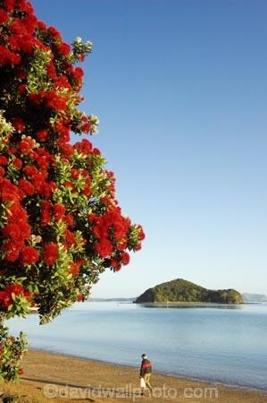 Bay-of-Islands;beach;beaches;crimson;elderly;flower;flowers;icon;icons;island;islands;leaf;leaves;man;men;Metrosideros-excelsa;native;nature;new-zealand;North-Auckland;north-is.;north-island;Northland;old;Paihia;pensioner;person;Pohutukawa;pohutukawas;red;shore;shoreline;summer;symbol;symbols;tree;trees