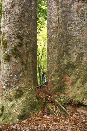 ancient;big;botany;bush;enormous;flora;forest;forests;giant;gigantic;huge;kauri;kauri-tree;kauri-trees;kauris;large;largest;native;native-bush;native-forest;new-zealand;north-is.;north-island;Northland;old;the-four-sisters;timber;tree;trees;very-old;Waipoua-Forest;waipoua-kauri-forest;wood