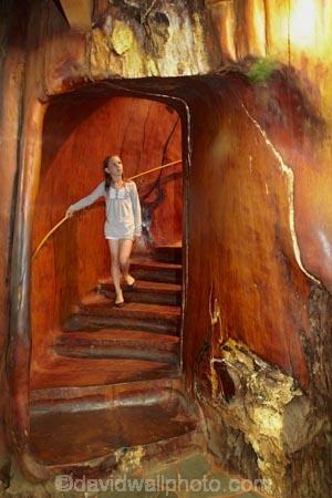 Ancient-Kauri-Kingdom;Awanui;child;children;Far-North;giant-kauri-tree;giant-kauri-trees;girl;girls;Kaitaia;Kauri-kingdom;Kauri-shop;kauri-tree;kauri-trees;kauri-trunk;kid;kids;little-girl;little-girls;N.I.;N.Z.;New-Zealand;NI;North-Is;North-Is.;North-Island;Northland;NZ;stair;staircase;staircases;stairs;stairway;stairways;tree;tree-trunk;tree-trunks;trees;wood;wooden