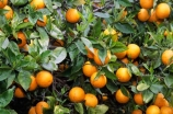 citrus;export;exports;fruit;grove;grow;growing;horticultural;horticulture;import;imports;navel;oranges;orchard