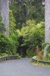 bend;bends;bitumen;black-tree-fern;botany;bush;centreline;corner;corners;driving;fern;ferns;flora;foiliage;forests;kauri;kauri-bridge;kauri-tree;kauri-trees;kauris;mamaku;native;native-forest;new-zealand;north-is.;north-island;Northland;ponga;punga;road;roading;roads;timber;transport;transportation;travel;traveling;travelling;tree;trees;Waipoua-Forest;waipoua-kauri-forest;wood