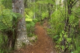 beautiful;beauty;bush;doc;endemic;fern;ferns;forest;forests;green;hiking-track;hiking-tracks;lush;native;native-bush;native-forest;natives;natural;nature;New-Zealand;north-is.;north-island;northland;rain-forest;rain-forests;rain_forest;rain_forests;rainforest;rainforests;ricker-track;rickers-track;scene;scenic;timber;tracks;tree;tree-trunk;tree-trunks;trees;trunk;trunks;verdant;waipoua-kauri-forest;walking-track;walking-tracks;wood;woods