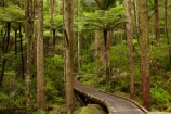 A.H.-Reed-Memorial-Kauri-Park;A.H.-Reed-Memorial-Park;beautiful;beauty;bridge;bridges;bush;cyathea;endemic;fern;ferns;foot-bridge;foot-bridges;footbridge;footbridges;forest;forests;frond;fronds;green;hiking-track;hiking-tracks;Kauri-Forest;Kauri-Forests;N.I.;N.Z.;native;native-bush;natives;natural;nature;New-Zealand;NI;North-Is;North-Is.;North-Island;Northland;NZ;pedestrian-bridge;pedestrian-bridges;plant;plants;ponga;pongas;punga;pungas;rain-forest;rain-forests;rain_forest;rain_forests;rainforest;rainforests;scene;scenic;track;tracks;tree;tree-fern;tree-ferns;tree-trunk;tree-trunks;trees;trunk;trunks;Waikoromiko-Stream;walking-track;walking-tracks;Whangarei;wood;woods