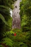 2000-year-old-kauri-tree;beautiful;beauty;bg-kauri;bg-kauris;big-tree;big-trees;bush;endemic;forest;forests;giant-2000-year-old-kauri-tree;giant-kauri;giant-kauris;giant-tree;giant-trees;green;kauri;Kauri-Coast;kauri-forest;kauri-forests;kauri-tree;kauri-trees;kauris;Lord-of-the-Forest;lush;N.I.;N.Z.;native;native-bush;natives;natural;nature;New-Zealand;NI;North-Is;North-Is.;North-Island;Northland;NZ;people;person;rain;rain-forest;rain-forests;rain_forest;rain_forests;rainforest;rainforests;raining;rainy;scene;scenic;Tane-Mahuta;Tane-Mahuta-Kauri-Tree;timber;tourism;tourist;tourists;tree;tree-trunk;tree-trunks;trees;trunk;trunks;Waipoua;Waipoua-Forest;Waipoua-Kauri-forest;wood;woods