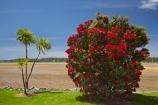 Bay-of-Is;Bay-of-Islands;beach;beaches;Cordyline-australis;crimson;flower;flowers;icon;icons;metrosideros-excelsa;N.I.;N.Z.;native;native-plant;native-plants;nature;new-zealand;NI;North-Auckland;North-Is;north-is.;north-island;Northland;NZ;Paihia;plant;plants;pohutakawa;pohutakawas;Pohutukawa;pohutukawa-flower;pohutukawa-flowers;pohutukawa-tree;pohutukawa-trees;pohutukawas;red;shore;shoreline;summer;symbol;symbols;tree;trees
