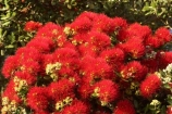 Bay-of-Islands;beach;beaches;crimson;flower;flowers;icon;icons;leaf;leaves;Metrosideros-excelsa;native;nature;new-zealand;North-Auckland;north-is.;north-island;Northland;Paihia;Pohutukawa;pohutukawas;red;shore;shoreline;summer;symbol;symbols