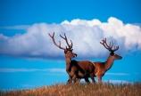 antler;antlers;farm;farms;farming;agriculture;rural;velvet;venison;cervena;deer;red-deer;deer-park-heights;queenstown;deer-park;horns;horn;stag;stags;animal;male