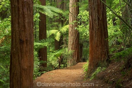 bay-of-plenty;beautiful;beauty;bush;conifer;conifers;footpath;footpaths;forest;forests;New-Zealand;north-is.;north-island;path;paths;peaceful;redwood;redwoods;rotorua;scene;scenic;serene;timber;track;tracks;tree;tree-trunk;tree-trunks;trees;trunk;trunks;walking-track;walking-tracks;wood;woods