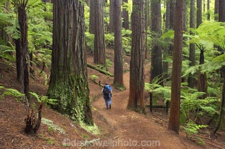 bay-of-plenty;beautiful;beauty;bush;conifer;conifers;footpath;footpaths;forest;forests;hiker;hikers;New-Zealand;north-is.;north-island;path;paths;peaceful;recreation;redwood;redwoods;rotorua;scene;scenic;serene;timber;tourism;tourist;tourists;track;tracks;tree;tree-trunk;tree-trunks;trees;trunk;trunks;walker;walkers;walking-track;walking-tracks;wood;woods