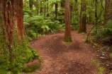 Bay-of-Plenty-Region;hiking-trail;hiking-trails;N.I.;N.Z.;New-Zealand;NI;North-Is;North-Island;Nth-Is;NZ;path;paths;pathway;pathways;redwood;Redwood-Forest;redwood-tree;redwood-trees;redwoods;Redwoods-Forest;Rotorua;route;routes;The-Redwoods;track;tracks;trail;trails;tree-trunk;tree-trunks;trunk;trunks;walking-path;walking-paths;walking-trail;walking-trails;walkway;walkways;Whakarewarewa-Forest