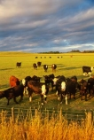 cow;farm;rural;grass;cows;calves;agriculture;farming;farms;pasture;pastures;paddock;paddocks;field;fields;meadow;meadows;black;white;sky;clouds;light;evening;late;afternoon;afternoon;dusk;twilight;farmscape;rural-scene;fence;wire;red;brown;beef;stock