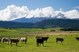 agricultural;agriculture;cattle;Central-Plateau;country;countryside;cow;cows;crop;crops;farm;farming;farmland;farms;field;fields;horticulture;meadow;meadows;Mount-Ruapehu;Mountain;mountainous;mountains;mt;Mt-Ruapehu;mt.;Mt.-Ruapehu;N.I.;N.Z.;New-Zealand;NI;North-Island;NZ;paddock;paddocks;pasture;pastures;Raetihi;Ruapehu-Region;rural;Tongariro-N.P.;Tongariro-National-Park;Tongariro-NP;volcanic;volcano;volcanoes;World-Heritage-Area;World-Heritage-Areas;World-Heritage-Site;World-Heritage-Sites