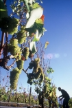color;colors;colour;colours;crop;crops;cultivation;farm;farming;farms;field;fields;grape;grapes;grapevine;green;harvesting;harvests;harvet;horticulture;pick;row;rows;rural;vine;vines;vineyard;vineyards;vintage;white;wine;wineries;winery;wines