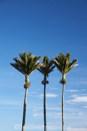 3;endemic;N.Z.;native;native-plant;native-plants;natives;natural;nature;New-Zealand;nikau;nikau-palm;nikau-palms;nikaus;NZ;palm;palm-tree;palm-trees;palms;plant;plants;Punakaiki;Rhopalostylis-sapida;S.I.;SI;South-Island;three;West-Coast;Westland