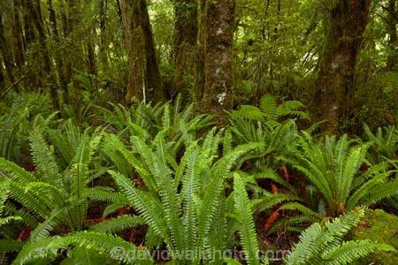 Beech-Forest;bush;fern;ferns;forest;forests;green;Haast-Pass;lush;Mount-Aspiring-National-Park;Mt-Aspiring-N.P.;Mt-Aspiring-National-Park;Mt-Aspiring-NP;N.Z.;national-park;national-parks;native-bush;native-forest;native-forests;native-tree;native-trees;native-woods;natural;nature;New-Zealand;NZ;Pleasant-Flat;Pleasant-Flat-Bush-Walk;Pleasant-Flat-track;S.I.;SI;South-Is;South-Island;Sth-Is;tree;trees;verdant;West-Coast;Westland;wood;woods