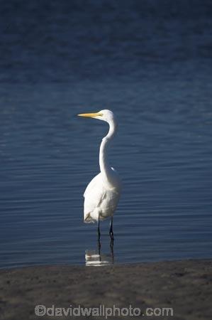 Animal;Animals;Aquatic-bird;Aquatic-birds;bird;birds;Egretta-alba;endangered;estuaries;estuary;fauna;feather;feathers;fly;flying;heron;herons;inlet;inlets;Kotuku;lagoon;lagoons;N.Z.;native;natives;natural;Nature;New-Zealand;NZ;Okarito-Lagoon;Ornithology;rare;S.I.;SI;South-Is.;South-Island;threatened;tidal;tide;Wading-bird;Wading-birds;water;West-Coast;Westland;white;White-Heron;Wild;Wildlife