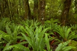 Beech-Forest;bush;fern;ferns;forest;forests;green;Haast-Pass;lush;Mount-Aspiring-National-Park;Mt-Aspiring-N.P.;Mt-Aspiring-National-Park;Mt-Aspiring-NP;N.Z.;national-park;national-parks;native-bush;native-forest;native-forests;native-tree;native-trees;native-woods;natural;nature;New-Zealand;NZ;Pleasant-Flat;Pleasant-Flat-Bush-Walk;Pleasant-Flat-track;S.I.;SI;South-Is;South-Island;Sth-Is;tree;trees;verdant;West-Coast;Westland;wood;woods