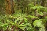 beautiful;beauty;bush;endemic;fern;ferns;forest;forests;green;Kahurangi-National-Park;Karamea;lush;national-park;national-parks;native;native-bush;natives;natural;nature;New-Zealand;Nothofagus;Oparara-Basin;ponga;pongas;punga;pungas;rain-forest;rain-forests;rain_forest;rain_forests;rainforest;rainforests;scene;scenic;South-Island;southern-beeches;timber;tree;tree-fern;tree-ferns;tree-trunk;tree-trunks;trees;trunk;trunks;verdant;West-Coast;Westland;wood;woods