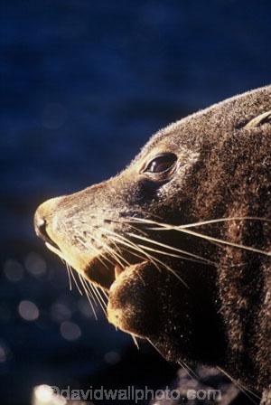 marine;mammal;new-zealand;native;wildlife;natural-history;otago-peninsula