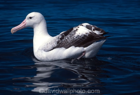 colony;flight;flying;fly;bird;birds;feather;feathers;coastal;sea;ocean;wings;soar;glide;gliding;wildlife;nature;rare;native;new-zealand;natural-history;marine;eco-tourism;eco_tourism;ecotourism;bird_watching;bird-watching