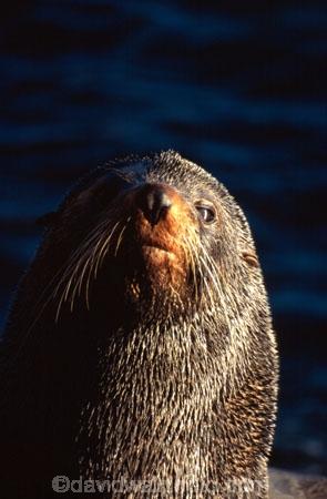 pointy-nose;whiskers;fur;snout;external-ears;acquatic;coastline;water;sea;ocean;marine;mammal;new-zealand;native;wildlife;natural-history;otago-peninsula;seals;natural;nature;mammals;Arctocephalus-forsteri