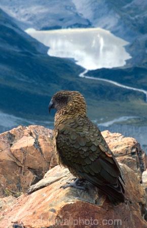 bird;birds;wildlife;native;feather;feathers;beak;beaks;nestor-notabilis;fauna;parrots;mountain;mountainous;lake;high;perch
