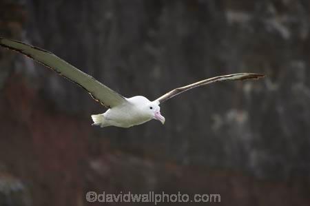 albatross-colony;Animal;animals;Avian;Beak;bird;bird-watching;bird_watching;birds;colonies;colony;Diomedea-epomophora;Dunedin;eco-tourism;eco_tourism;ecotourism;Fauna;Feather;flight;fly;flying;marine;Natural;Nature;New-Zealand;northern-royal-albatross;Ornithology;Otago-Peninsula;Royal-Albatross;South-Island;Taiaroa-Head;wild;wildlife;Wing;wingspan
