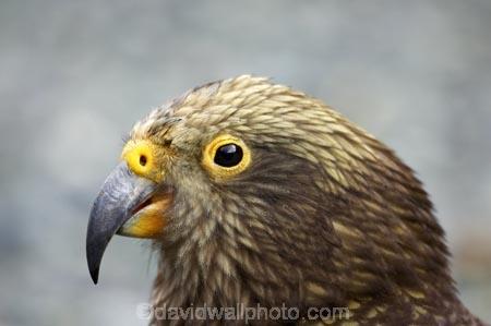 adolescent;alpine-parrot;alpine-parrots;Animal;Animals;beak;beaks;bill;bird;birds;bite;bites;biting;cheeky;close_up;closeup;fauna;feather;feathers;Fiordland;head;indigenous;juvenile;Kea;keas;Milford-Road;N.Z.;native;native-wildlife;natives;natural;Nature;nestor-notabilis;New-Zealand;New-Zealand-Alpine-Parrot;New-Zealand-NZ;Ornithology;parrot;parrots;S.I.;SI;South-Is;South-island;South-West-New-Zealand-World-Heritage-Area;southern-alps;Te-Wahipounamu;Wild;wildlife