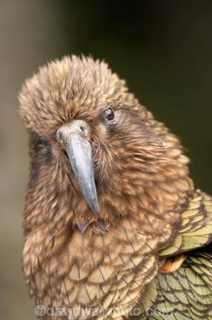 3140;alpine;alpine-parrot;alpine-parrots;Animal;Animals;beak;beaks;bill;bird;birds;cheeky;Closeup;close_up;crw;fauna;feather;feathers;fiordland;Fiordland-N.P;Fiordland-National-Park;Fiordland-NP;indigenous;island;kea;keas;milford;N.Z.;national;national-park;National-parks;native;native-wildlife;natives;natural;nature;nestor;nestor-notabilis;new;new-zealand;New-Zealand-Alpine-Parrot;New-Zealand-NZ;notabilis;NZ;ornithology;park;parrot;parrots;road;S.I.;SI;south;South-Is;South-Is.;South-Island;south-west-new-zealand-world-her;Southland;te-wahipounamu;te-wahipounamu-south_west-new;Wild;Wildlife;World-Heritage-Area;World-Heritage-Site;zealand