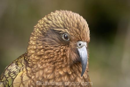 3144;alpine;alpine-parrot;alpine-parrots;Animal;Animals;beak;beaks;bill;bird;birds;cheeky;Closeup;close_up;crw;fauna;feather;feathers;fiordland;Fiordland-N.P;Fiordland-National-Park;Fiordland-NP;indigenous;island;kea;keas;milford;N.Z.;national;national-park;National-parks;native;native-wildlife;natives;natural;nature;nestor;nestor-notabilis;new;new-zealand;New-Zealand-Alpine-Parrot;New-Zealand-NZ;notabilis;NZ;ornithology;park;parrot;parrots;road;S.I.;SI;south;South-Is;South-Is.;South-Island;south-west-new-zealand-world-her;Southland;te-wahipounamu;te-wahipounamu-south_west-new;Wild;Wildlife;World-Heritage-Area;World-Heritage-Site;zealand
