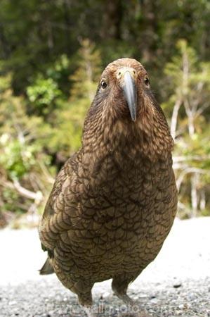 3158;alpine;alpine-parrot;alpine-parrots;Animal;Animals;beak;beaks;bill;bird;birds;cheeky;Closeup;close_up;crw;fauna;feather;feathers;fiordland;Fiordland-N.P;Fiordland-National-Park;Fiordland-NP;indigenous;island;kea;keas;milford;N.Z.;national;national-park;National-parks;native;native-wildlife;natives;natural;nature;nestor;nestor-notabilis;new;new-zealand;New-Zealand-Alpine-Parrot;New-Zealand-NZ;notabilis;NZ;ornithology;park;parrot;parrots;road;S.I.;SI;south;South-Is;South-Is.;South-Island;south-west-new-zealand-world-her;Southland;te-wahipounamu;te-wahipounamu-south_west-new;Wild;Wildlife;World-Heritage-Area;World-Heritage-Site;zealand