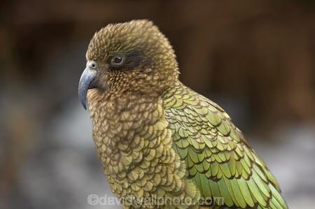 alpine;alpine-parrot;alpine-parrots;Animal;Animals;bird;birds;cheeky;Closeup;close_up;fauna;feather;feathers;fiordland;Fiordland-N.P;Fiordland-National-Park;Fiordland-NP;indigenous;island;kb1a5203;kea;keas;milford;N.Z.;national;national-park;National-parks;native;native-wildlife;natives;natural;nature;nestor;nestor-notabilis;new;new-zealand;New-Zealand-Alpine-Parrot;New-Zealand-NZ;notabilis;NZ;ornithology;park;parrot;parrots;road;S.I.;SI;south;South-Is;South-Is.;South-Island;south-west-new-zealand-world-her;Southland;te-wahipounamu;te-wahipounamu-south_west-new;Wild;Wildlife;World-Heritage-Area;World-Heritage-Site;zealand