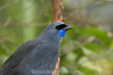 Animal;Animals;Avian;bird;bird-watching;birds;bird_watching;blue-wattle;blue-wattles;bruce;callaeas;Callaeas-cinerea;centre;cinerea;eco-tourism;ecotourism;eco_tourism;fauna;island;kokako;Lower-North-Island;mount;Mount-Bruce-Wildlife-Centre;Mt-Bruce-Wildlife-Centre;Mt.-Bruce-Wildlife-Centre;N.I.;N.Z.;natural;nature;new;new-zealand;NI;north;North-Is;north-is.;north-island;North-Island-Kokako;NZ;o8l7015;ornithology;Pukaha;Pukaha-Mount-Bruce-Wildlife-Cent;rare-endemic;wairarapa;Wild;Wildlife;zealand